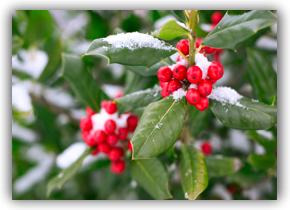 Season's Greetings (4) Holly