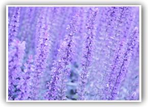 purpleflowerlge